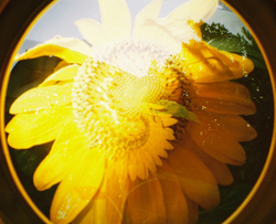 Sunflower_0810
